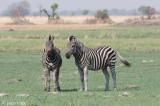 Plains Zebra - Steppenzebra - Equus quagga