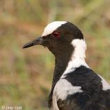 Blacksmith Plover - Smidsplevier - Vanellus armatus