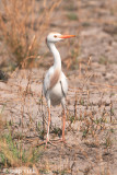 Cattle Egret - Koereiger - Bubulcus ibis