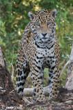 Brazil, Pantanal, Jaguars: July 11-14, 2009