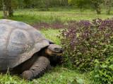 Galapagos Giant Tortoise - Galapagos Reuzenschildpad - Geochelone elephantopus