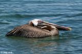 Brown Pelican - Bruine Pelikaan - Pelecanus occidentalis