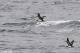 Galápagos Shearwater - Galápagospijlstormvogel - Puffinus subalaris