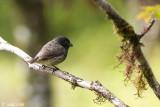Small Tree Finch - Kleine Boomvink - Camarhynchys parvulus