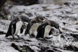 Galápagos Penguin - Galápagospinguin - Sphenisculus mendiculus