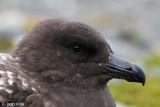Brown Skua - Bruine Jager - Stercorarius lonnbergi