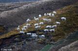 Reindeer - Rendier - Rangifer tarandus