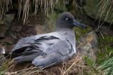Light-mantled Sooty Albatross - Roetkopalbatros - Phoebetria palpebrata
