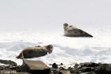 Weddell Seal - Weddell Zeehond - Leptochotes weddellii