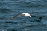 Northern Royal Albatross - Noordelijke Koningsalbatros - Diomedea sanfordi