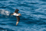Atlantic Petrel - Schlegel-Stormvogel - Pterodroma incerta