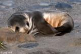 Antarctic Fur Seal - Arctocephalus gazella