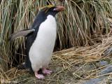Macaroni Penguin - Macaronipinguïn - Eudyptes chrysolophus