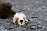 Skull of Antarctic Fur Seal - Schedel van een Antarctische Pelsrob