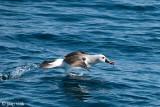 Atlantic Yellow-nosed Albatross - Geelbekalbatros - Thalassarche chlororhynchos