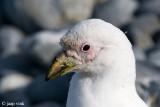 Snowy Sheathbill - Zuidpoolkip - Chionis alba