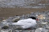 Antarctic Tern - Antarctische Stern - Sterna vittata georgiae