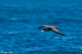 White-chinned Petrel - Witkinstormvogel - Procellaria aequinoctialis