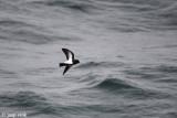 Black-bellied Storm-petrel - Zwartbuikstormvogeltje - Fregetta tropica