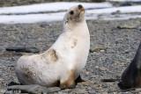 Antarctic Fur Seal - Antarctische Pelsrob - Arctocephalus gazella
