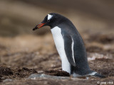 Gentoo Penguin - Ezelspinguïn - Pygoscelis papua