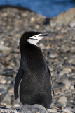 Chinstrap Penguin - Kinbandpinguïn - Pygoscelis antarctica