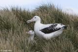 Wandering Albatross - Grote Albatros - Diomedea exulans