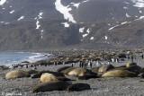 Southern Elephant Seal - Zeeolifant - Mirounga leonina