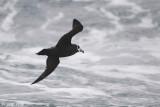 Spectacled Petrel - Brilstormvogel - Procellaria conspicillata