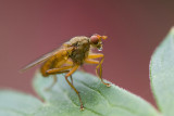 Dung Fly spec - Strontvlieg spec - Scathophaga spec