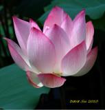 GARDEN (6) : Lotus/2010 (Taiwan)