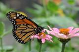 Monarch, Danaus plexippus, Maryland - USA, Canada to South America; Australia, Pacific Islands