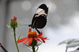 Blue and White Longwing, Heliconius cydno, Mexico to Colombia & Ecuador