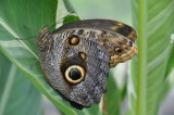 Mournful Owl Caligo eurilochus, Mexico & Guatemala to Amazon basin