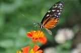 Disturbed Tigerwing Mechanitis polymnia Mexico to the Amazon