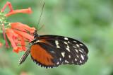 Disturbed Tigerwing, Mechanitis polymnia, Mexico to the Amazon
