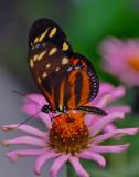 Tiger Longwing Heliconius ismenius  Mexico to Ecuador