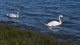 A Swan Couple