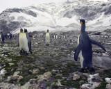 King Penguins in Antarctica