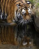 Tiger Contemplating His Reflection
