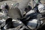 56 - Les pigeons
