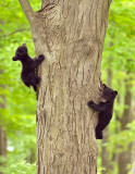 Black Bear Cubs Climbing Tree in Spring