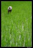 Working in the rice fields around Yangshuo
