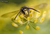 Fennel Wasp