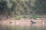 Water buffalo doing their thing