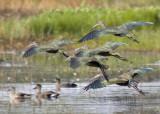 Ibis Flock