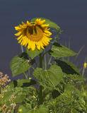 Wild Sunflower on Sacramento River