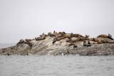 Sea Lion, Stellar-070510-S Marble Island, Glacier Bay NP, AK-#0428.jpg