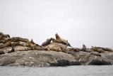 Sea Lion, Stellar-070510-S Marble Island, Glacier Bay NP, AK-#0444.jpg