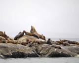 Sea Lion, Stellar-070510-S Marble Island, Glacier Bay NP, AK-#0456.jpg